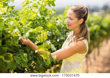 Female vintner inspecting grape crop in vineyard