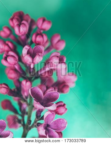 lilac flower branch on a green background. Shallow depth of field selective focus toned photo