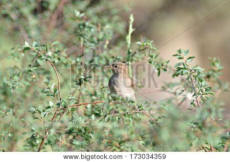 Sparrow in a bush, single sparrow in a bush