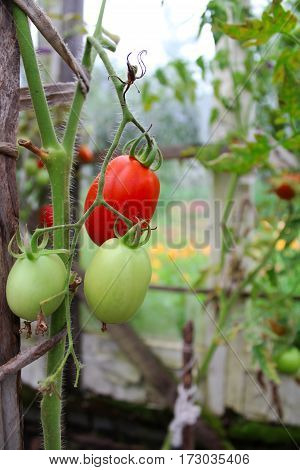 tomatoes ripening on the vegetable garden of the summer.