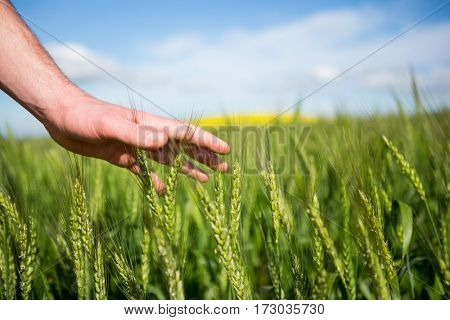 Close-up of man hand touching crops in field on a sunny day