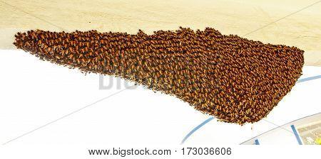 Closeup of newly built rock honeybee nest captured on Feb 23th, 2017 at Bangalore, Karnataka, India