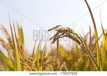 closeup of cereal plant in field