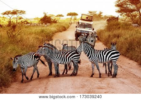 Africa Tanzania Serengeti - February 2016: Zebras on the road in Serengeti national park in front of the jeep with tourists.