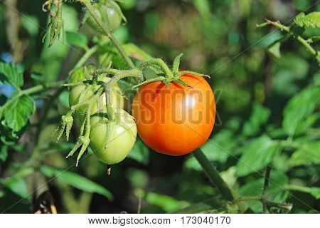Fresh tomato on branch in green garden-bed
