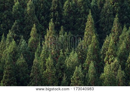 Pine lush green tree in deep forest