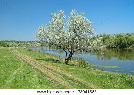 Ukrainian rural early summer landscape with lonely silverberry tree beside small river Sura.