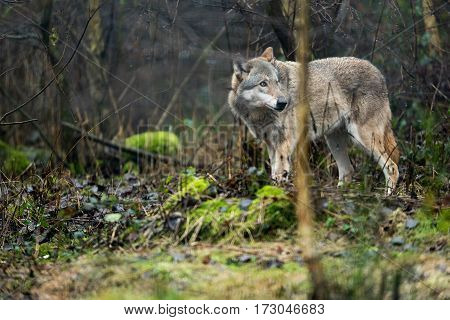 Solitary wolf standing in a rainy forest.