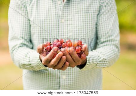 Mid section of vintner holding grapes in vineyard