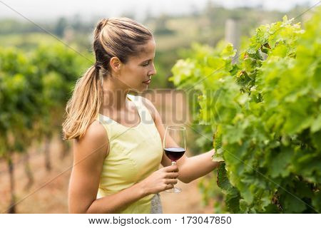Female vintner holding wine glass and inspecting grape crop in vineyard