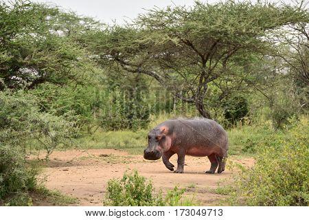 common hippopotamus in african natural park ( Hippopotamus amphibius )