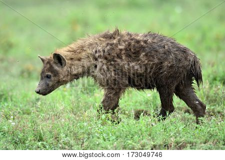 Hyena in african natural park with green background