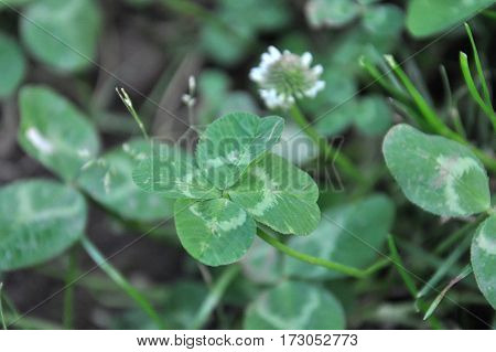 Four-leaf clover grows in nature. Lucky finding