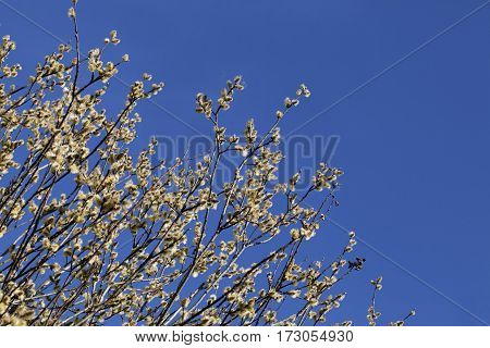 Flowering pussy-willow in spring against clear blue sky