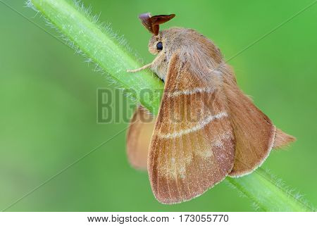 Large brown butterfly macrothylacia rubi sits on a green stalk of grass.