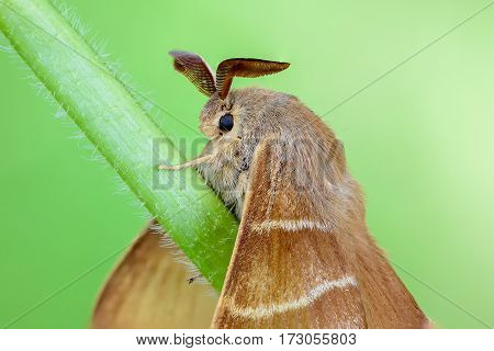 Large brown butterfly macrothylacia rubi sits on a green stalk of grass. 27 images stack modified by PS