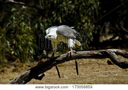 this is a close up of a sea eagle on a branch