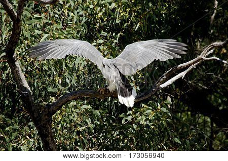 this is the back of a sea eagle look at its wing span