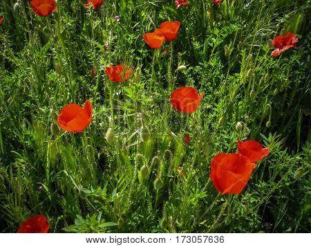 Spring Flowers, Poppies, Castilla La Mancha, Spain