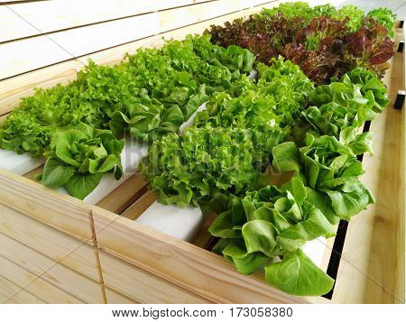 Cultivation Fresh vegetable growing in Hydroponic System green butterhead, red oak leaf lettuce