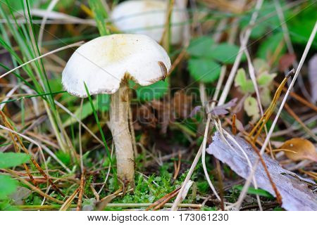 Mushroom growing in the grass in the autumn forest