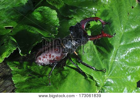 A stag beetle.Black beetle with formidable horns. Also known as the stag beetle.The appearance of his terrible,terrible.But if you don't touch it,harm it will cause.
