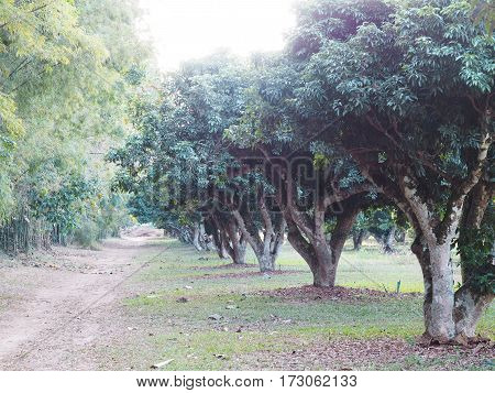 Row of litchi trees in the farm. Lychee orchard.