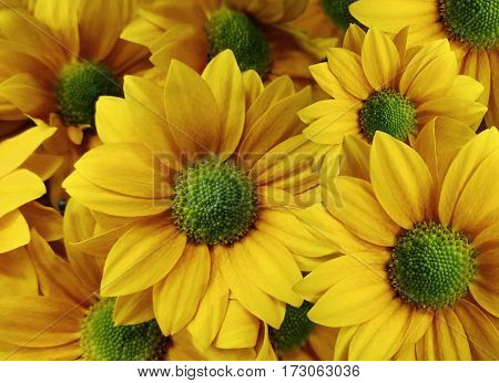 Flowers Daisies yellow-orange. close-up. floral collage. Spring composition. Nature.