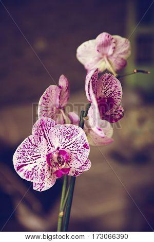 Phalaenopsis Flowers