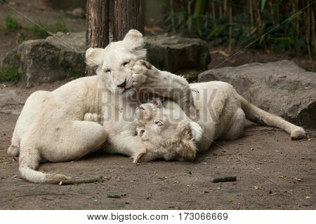 Two newborn white lion cubs. The white lion is a colour mutation of the Transvaal lion (Panthera leo krugeri), also known as the Southeast African or Kalahari lion. poster