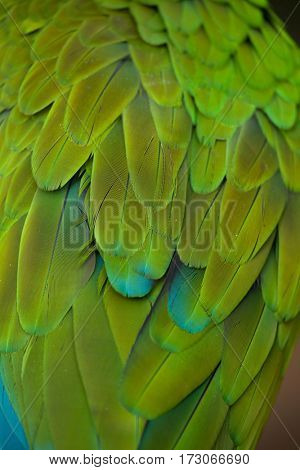 Green military macaw (Ara militaris). Plumage texture.