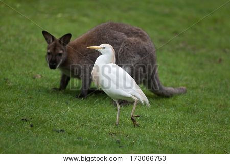 Cattle egret (Bubulcus ibis) and red-necked wallaby (Macropus rufogriseus), also known as the Bennett's wallaby.