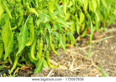 Green hot chili peppers in the garden