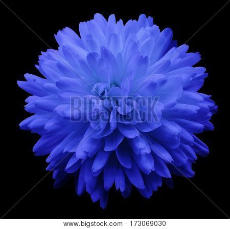 blue flower chrysanthemum. garden flower. black isolated background with clipping path. Closeup. no shadows. Nature.