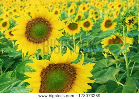 Beautiful sunflowers in the field with clear sky.