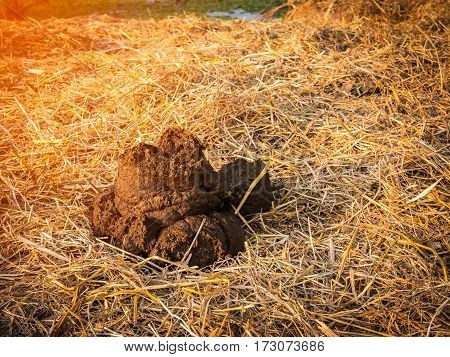 Closeup a pile of buffalo dung on a dry straw.
