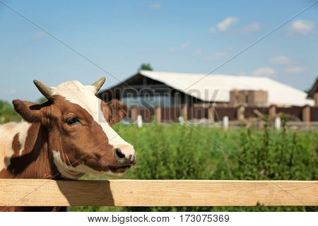 Cow on blurred dairy farm background