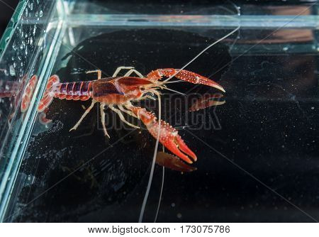 Ghost Mix crayfish in aquarium tank .