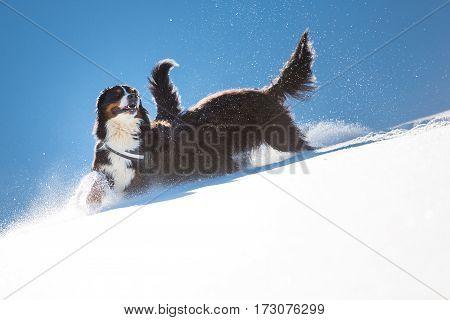 Bergamasco Shepherd Is Bernese Playing In The Snow
