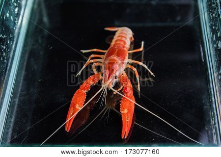 Crayfish In Aquarium Tank .