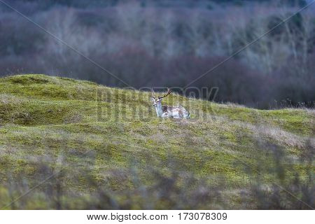 Deer stag lying down on grass. National park Amsterdamse Waterleidingduinen.