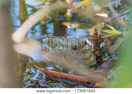 Amphibious Fish In Mangrove Forest .