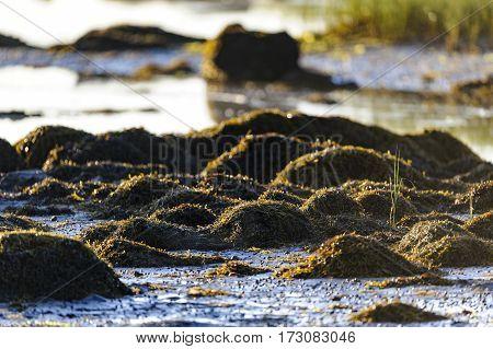 Seaweed on rocks along beach at low tide