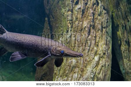 Alligator Gar Fish In Aquarium Tank