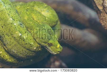Green Tree Python On Tree