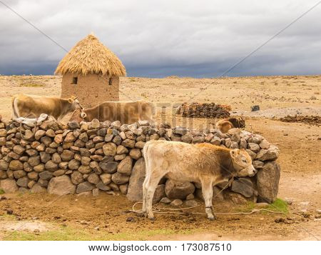 Cows and stormy weather on the horizon behind Small farm near Tombs of Sillustani by Lake Umayo near Puno, Bolivia