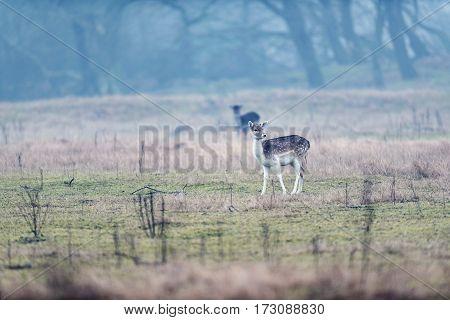 Young Fallow Deer Standing In Misty Field.