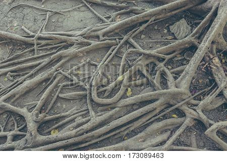 Banyan Tree Root And Dry Leaf On Ground