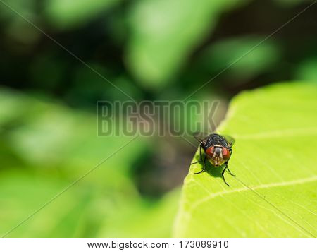Little fly site on green leaf and macro fly.