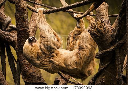 Sloth Hanging From A Tree